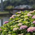 写真: 紫陽花・・色づきがまだ