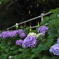 写真: 遊歩道沿いの紫陽花