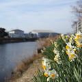 写真: 川岸の水仙
