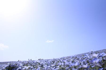 青空とネモフィラ
