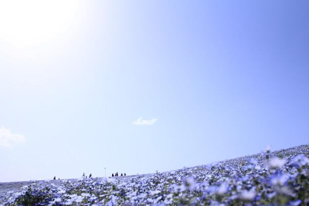 写真: 青空とネモフィラ