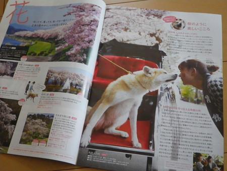 人力車で観光 秋田犬