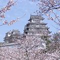 Photos: 姫路城桜の頃