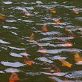 Photos: 鯉の泳ぎ競争