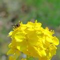 Photos: 菜の花に