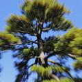 Photos: 松の木