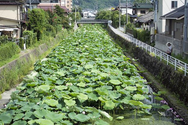 写真: 蓮の川