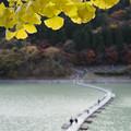 写真: 銀杏とドラム缶橋