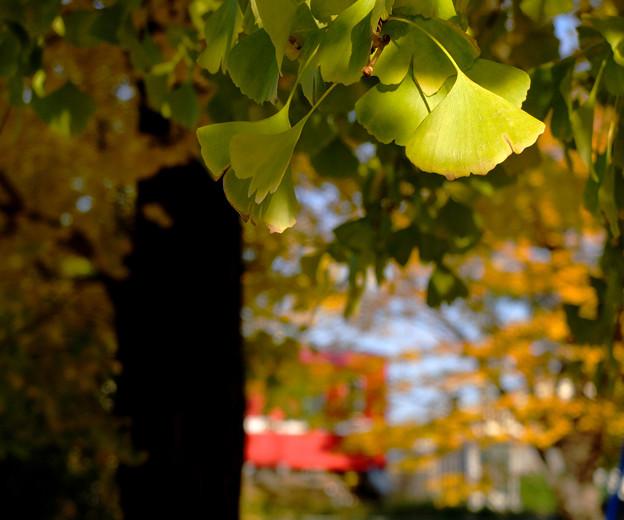 黄葉カーテン