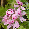 Photos: Rose Geranium