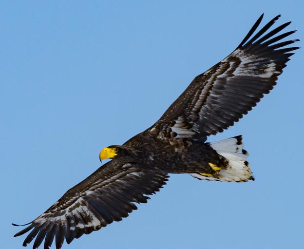 Photos: オジロワシの飛翔