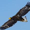 写真: オジロワシの飛翔