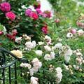 わらしべ長者の薔薇
