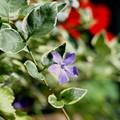 写真: 初めて咲いたツルニチソウ