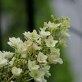 遅咲きのカシワバアジサイ