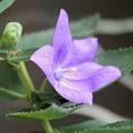 写真: キキョウの花びらは