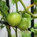 トマトから育てたトマト