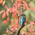 写真: カワセミ 898A1140_R