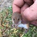 土手で捕まえた野ネズミ