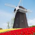 写真: 風車とチューリップ