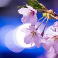 写真: 春の陽気、陽気な桜