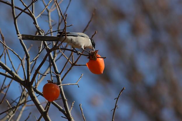 写真: 柿おにゃが♪