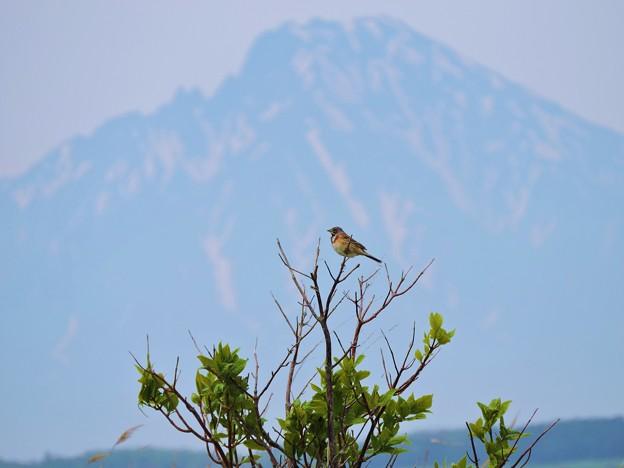 野鳥と利尻富士