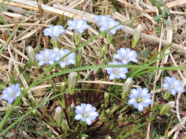 サロベツ原生花園の花々_2