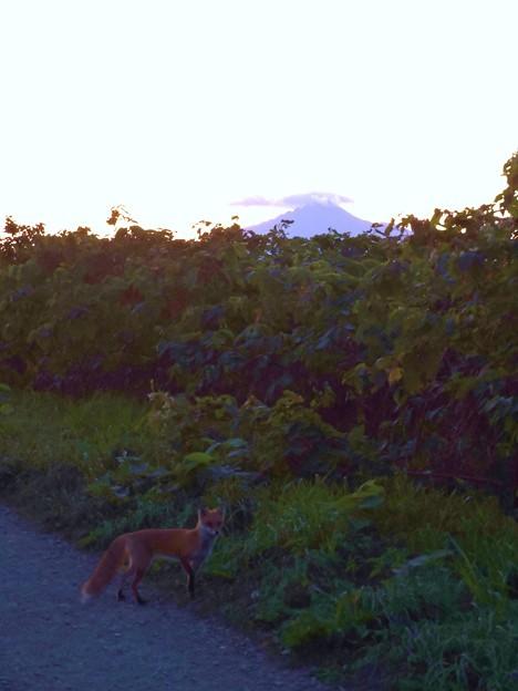 写真: キタキツネと利尻富士