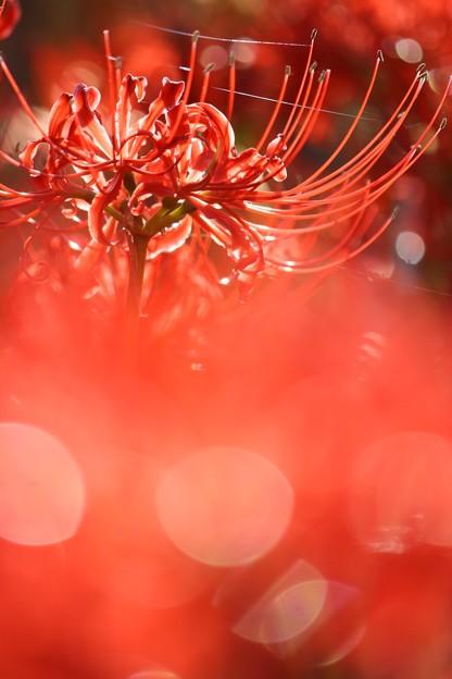 写真: キラキラの彼岸花