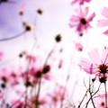 写真: ピンクコスモス
