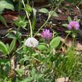 花> 白花のムラサキ ツメクサ:別名はセッカ ツメクサ[雪花詰草]←5