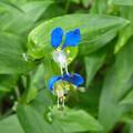 花> ツユクサ:夫婦花:上下で花の形が異なる!?←1