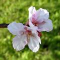 花> サクラ:カワズ ザクラか:11月中旬に撮りました←2