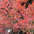 写真: 紅葉> ナニカ?←1 (2)