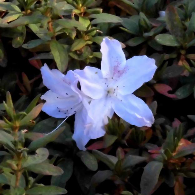 花> ツツジの類:12月上旬に撮りました←2