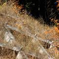 写真: 実> カキノキの類:山の崖上に←3