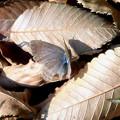 写真: 蝶> ウラナミ シジミか←4