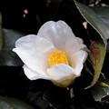 花> ツバキ:白←5