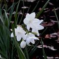 花> スイセン[ペーパー ホワイト]:12月上旬に撮りました←6