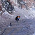 写真: こう虫> ナミ テントウ2紋型:12月上旬に撮りました←6