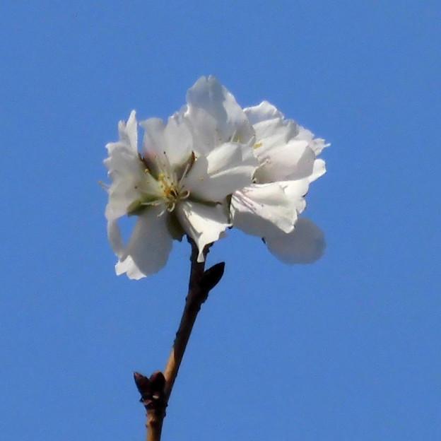花> サクラの類:12月中旬に撮りました←8 (2)
