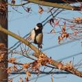 写真: 鳥> シジュウカラ←9