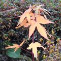 写真: 紅葉> モミジの類の幼木←0