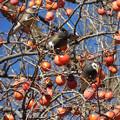 写真: 鳥> ムクドリ:柿をがつがつ食って!←3