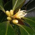花> シキミ:1月上旬に撮りました←4