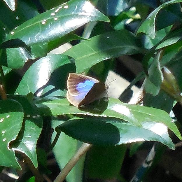 写真: 蝶> ムラサキ シジミ:1月上旬に撮りました←7