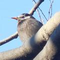 写真: 鳥> ムクドリ←9