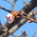 花> サクラ:カワズ ザクラ:1月中旬に撮りました←0