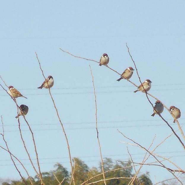 鳥> スズメ:群れて!←1 (2)